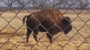 A Buffalo in Minnesota!!!