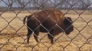A Buffalo in Minnesota!!!